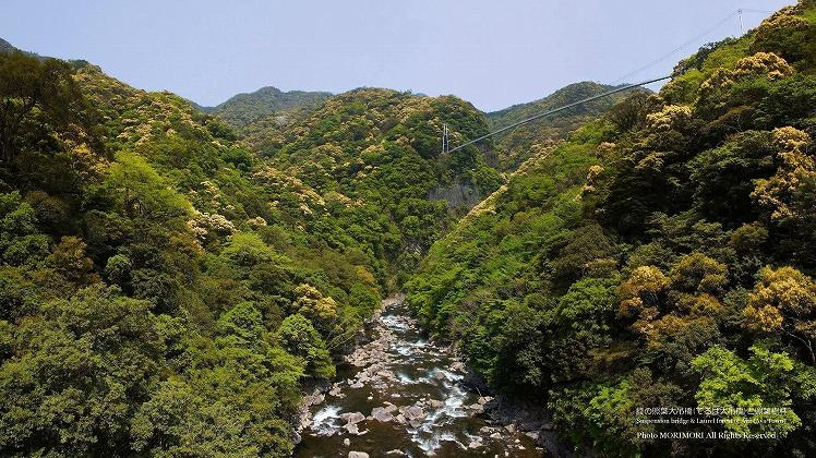 綾の照葉(てるは)大つり橋と照葉樹林