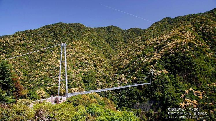 照葉樹林の開花 綾の大つり橋 春
