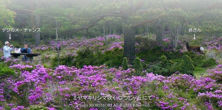 つつじヶ丘のミヤマキリシマ 2010年撮影