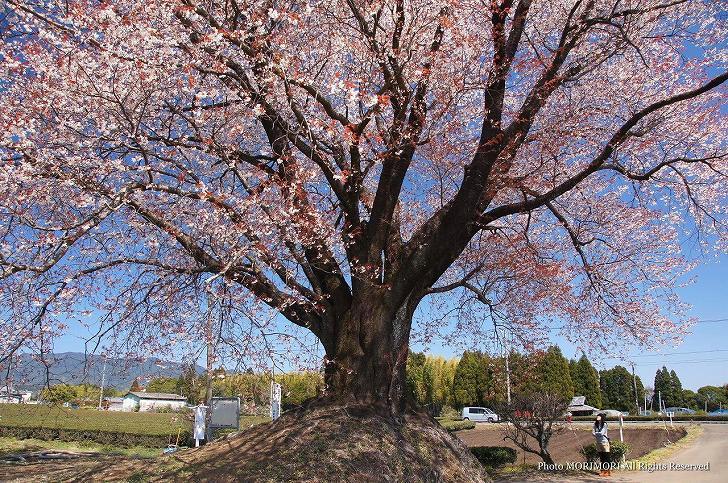 大坪のヤマザクラ(一本桜)