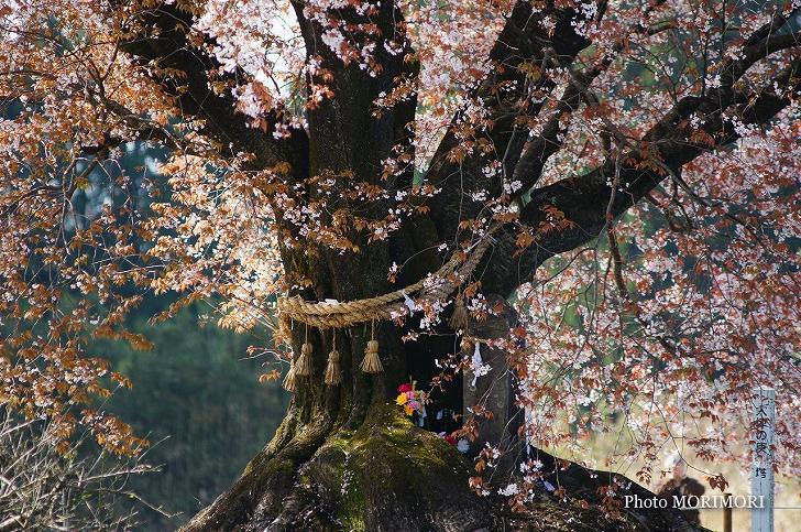 大坪の一本桜