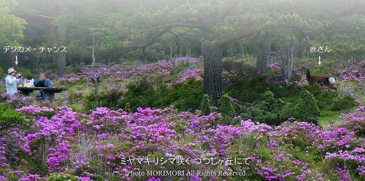 えびの高原 つつじヶ丘のミヤマキリシマ