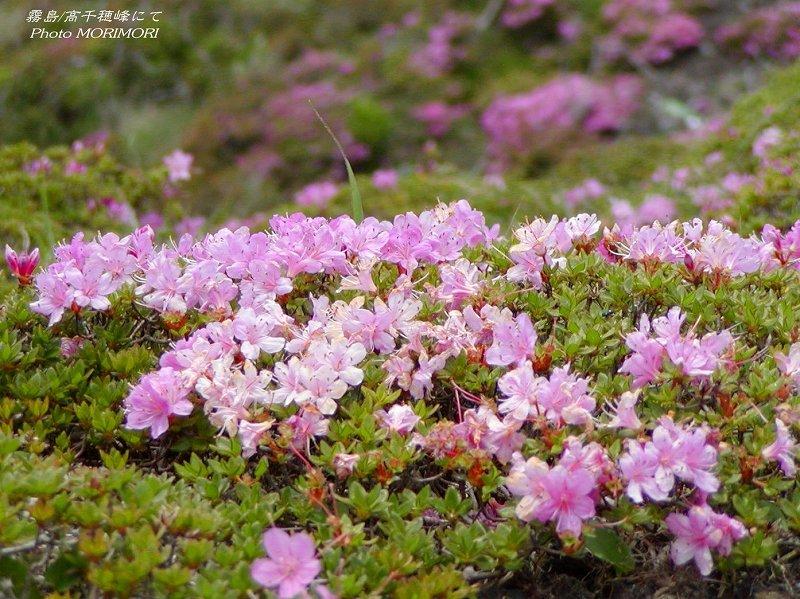 ミヤマキリシマの画像 p1_16