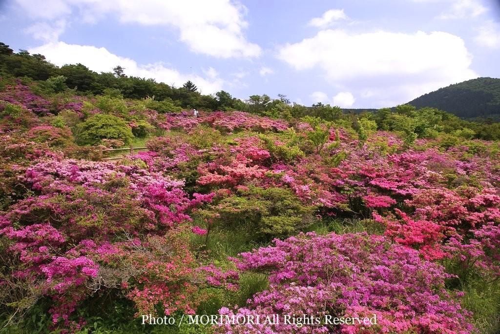 ミヤマキリシマの画像 p1_25