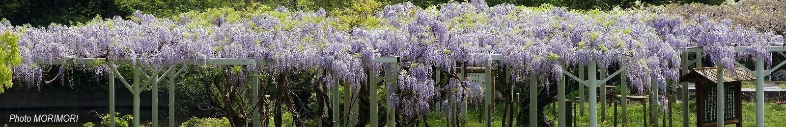 宮崎神宮の藤の花 フジ パノラマ写真