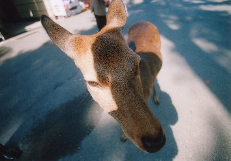 東大寺の鹿