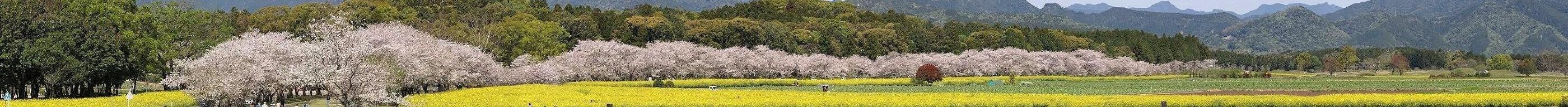 西都原古墳群の桜と菜の花 02