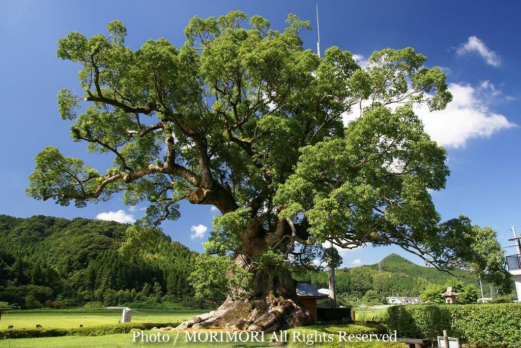 川古の大楠の写真(武雄市の楠の木)